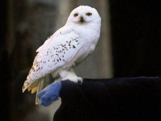 Hedwig, saga Harry Potter (2001 - 2011)