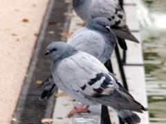 Las aves envejecen antes en la ciudad que en el campo