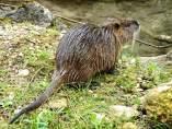 Coipo o rata de río
