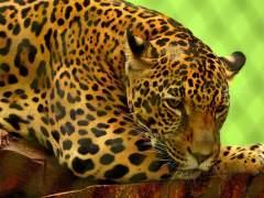 El cruce de grandes felinos permitió la supervivenciadel jaguar