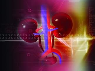 Ilustración de los riñones del cuerpo humano