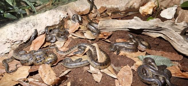 Crías de anacondas.