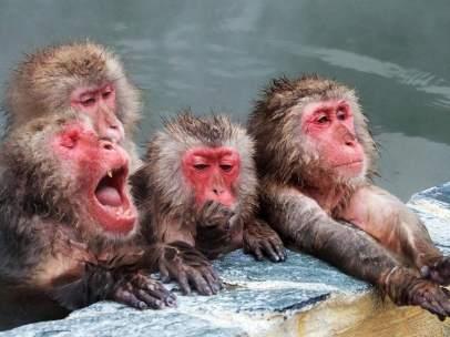 Baño de aguas termales para macacos japoneses en Hokkaido