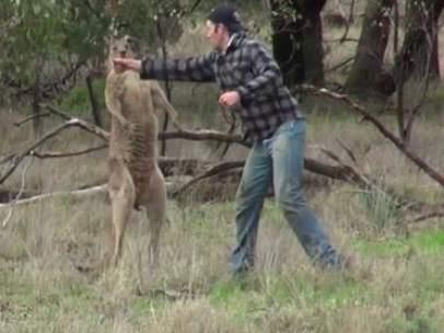Un hombre da un puñetazo a un canguro