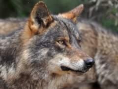"""""""Matar lobos sólo provoca que haya más ataques al ganado"""""""