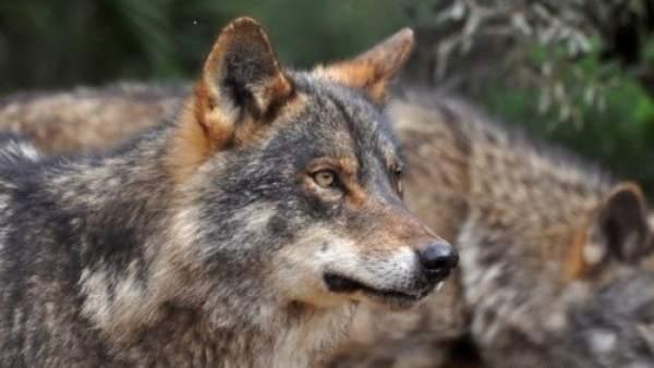 El Seprona Investiga La Aparición De Un Cachorro De Lobo De 8 Meses