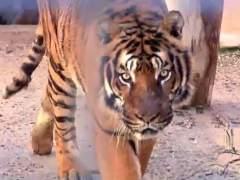 Muere una cuidadora de un zoo tras ser atacada por un tigre