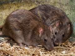 Denuncian que al menos 8 distritos de Madrid tienen plagas de ratas