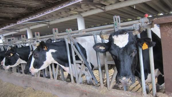 Vacas en una explotación agraria
