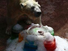 Fallece Inuka a los 27 años, el único oso polar nacido en el trópico