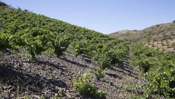 Bodegas jorge ordoñez málaga viticultura botani uvas axarquía mula vendimia