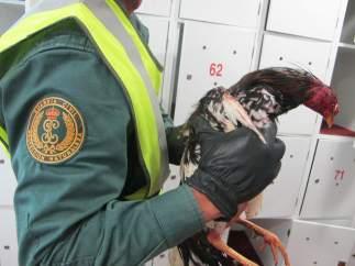 Operación contra las peleas de gallo en Guadassuar