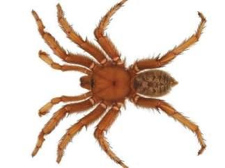 La araña nombrada en honor a Obama