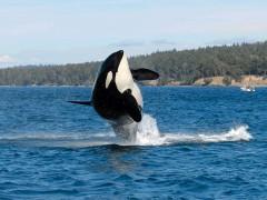 Las orcas y cachalotes, entre los cetáceos más inteligentes