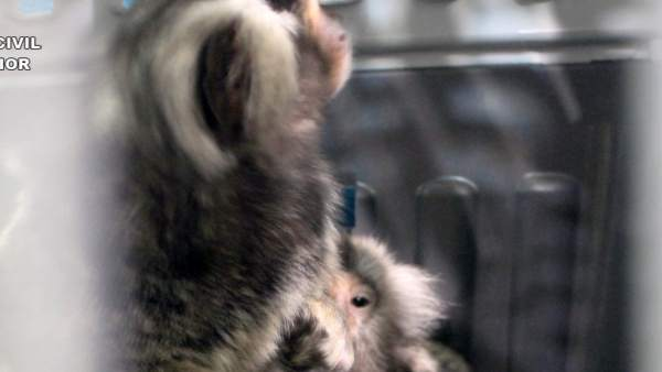 La Guardia Civil intercepta la venta de dos ejemplares de mono Titi