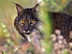 WWF se reunirá con Fomento para acabar con los atropellos de linces
