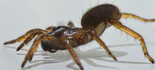 Imagen de una araña nemesia