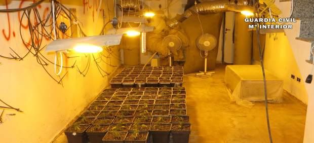 Plantas marihuana