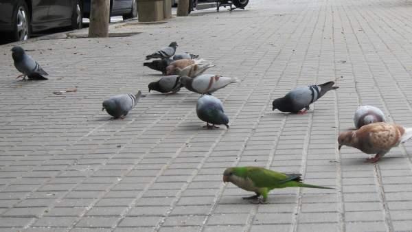 Cotorras Se Mezclan Con Palomas En Barcelona.
