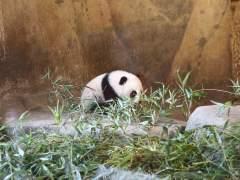 Cría de oso panda gigante en el Zoo de Madrid