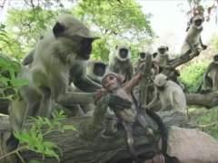 Los monos que 'lloran' la muerte de un robot