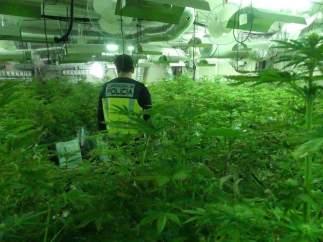 La plantación de marihuana