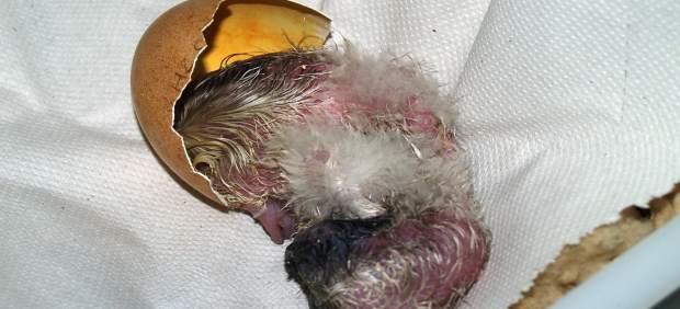 Nacimiento de un pollo de quebrantahuesos