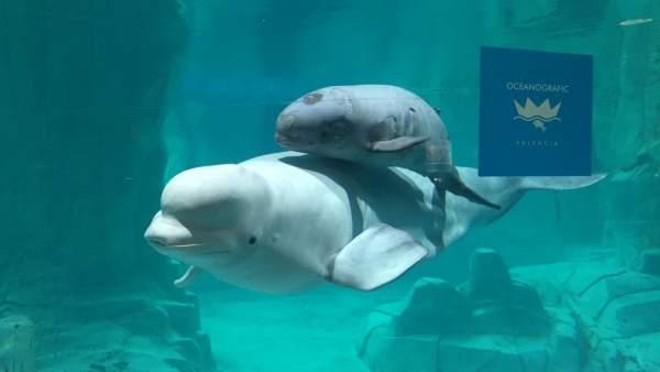 Kylu, l'única cria de beluga a Europa, complix dos mesos en l'Oceanogràfic