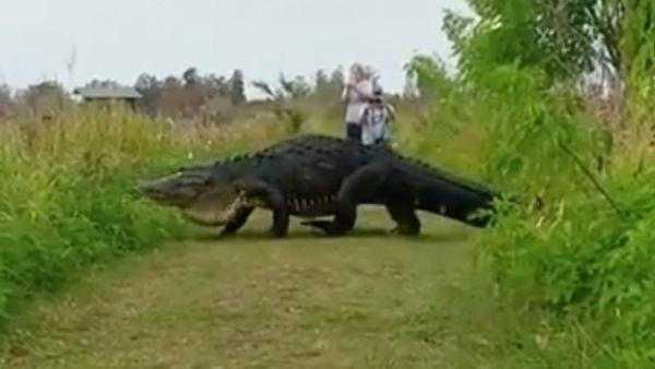 Unos turistas graban un cocodrilo gigante en Florida