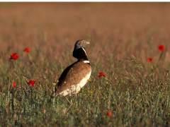 El sisón común releva al gorrión como 'Ave del año'