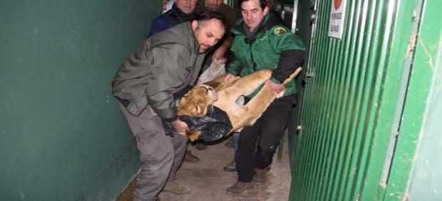 Traslado de un león de Peña Escrita tras ser anestesiado