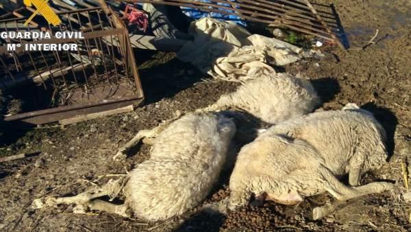 Animales muertos hallados por la Guardia Civi.