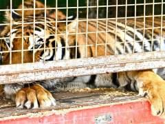 Un tigre se escapa de un circo y deambula por París antes de ser abatido a tiros