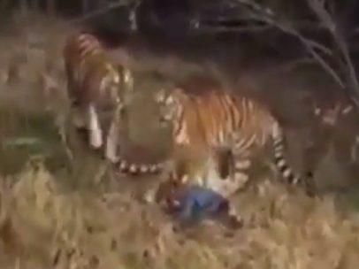 Turista muere al ser atacado por un tigre
