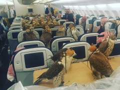 80 halcones viajan en avión junto a su dueño, un príncipe saudí