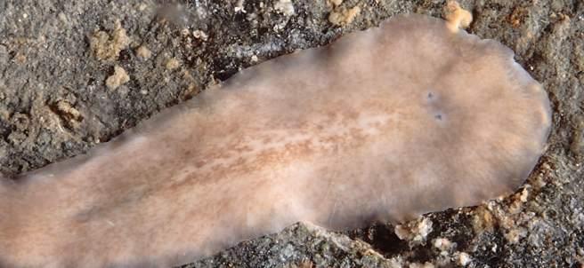 Nueva especie de gusano plano descubierta en la Ría de Arousa.