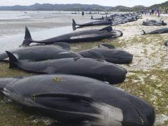 Más de 150 ballenas varan en una playa de Australia