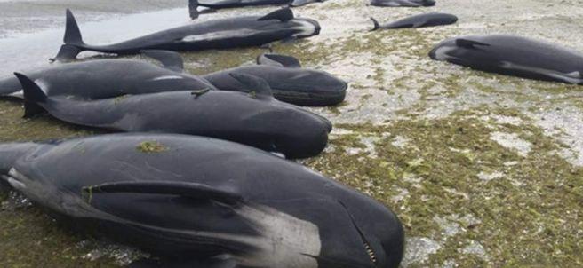 Ballenas muertas en la costa