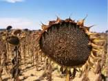 Girasol, sequía, cambio climático