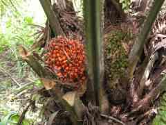 El aceite de palma, el más consumido pese al riesgo