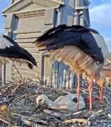 El Gran Hermano de las aves: el día a día de las cigüeñas blancas