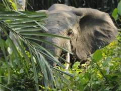 Los furtivos acaban con más de la mitad de los elefantes de selva africanos