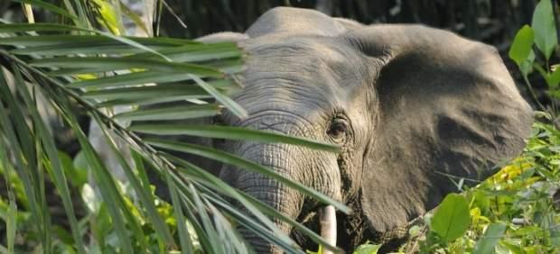 """Los excrementos de elefante son """"excelentes"""" para fabricar papel"""