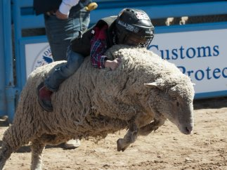 Rodeo con ovejas