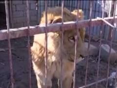 Simba y Lola, los únicos supervivientes de la guerra en el zoo de Mosul