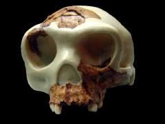 El homo de Atapuerca comía alimentos crudos y más duros que otras especies