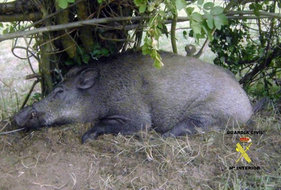 Desarrollo rural suprime el cupo m ximo de jabal es adultos que se pod a abatir en los cotos - Como cazar un raton en un piso ...
