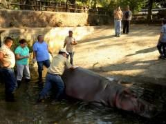 Matan de una paliza al único hipopótamo de El Salvador