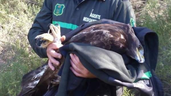 Águila herida