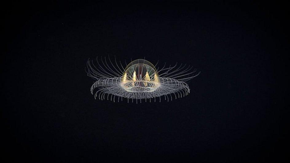 Un 'ovni' en las profundidades. Una medusa etérea, cósmica, casi como un ovni fue vista flotando cerca de un monte submarino inexplorado, a unos 3.000 metros de profundidad, en una remota región de Samoa Americana. La criatura fue descubierta por un equipo del NOAA durante una expedición submarina.